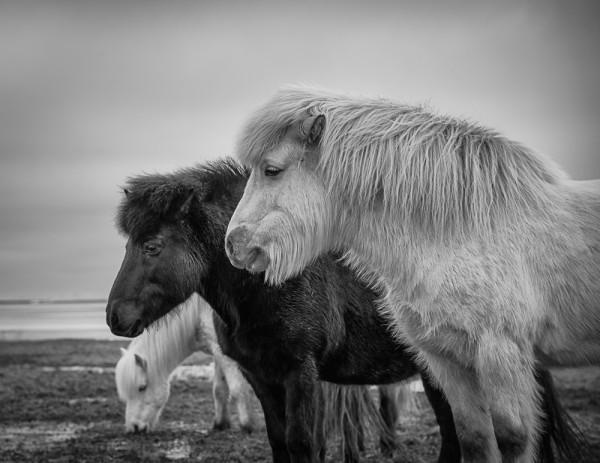 Iceland - Stoic Horses