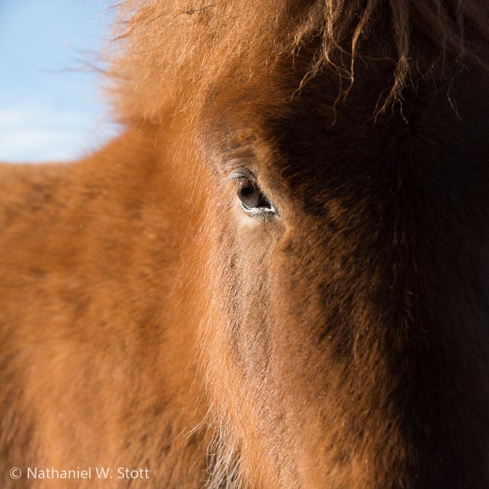 Iceland - Horse Portrait