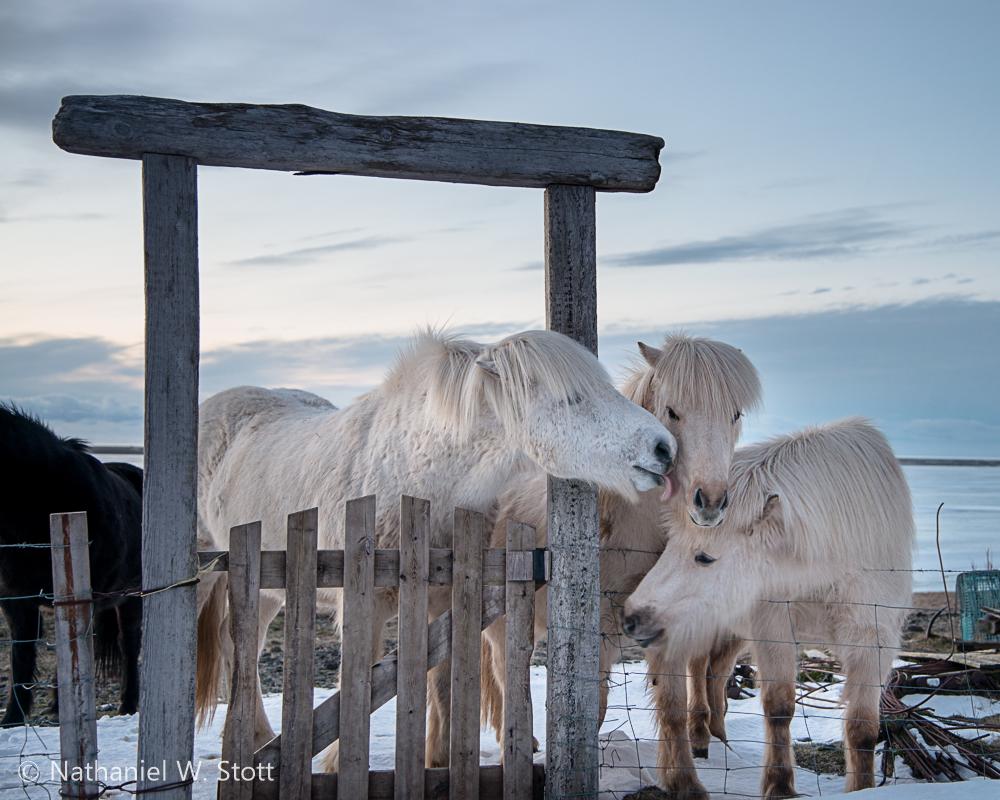 Iceland - Horse Frolic