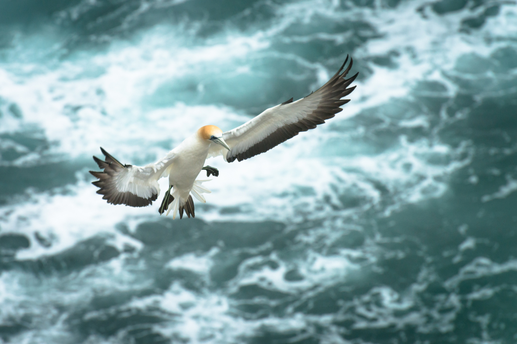 Muriwai Gannet Colony (2 of 3)