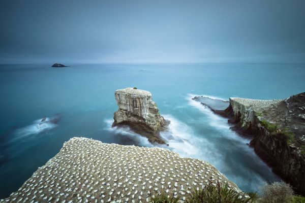 Muriwai Gannet Colony (3 of 13)