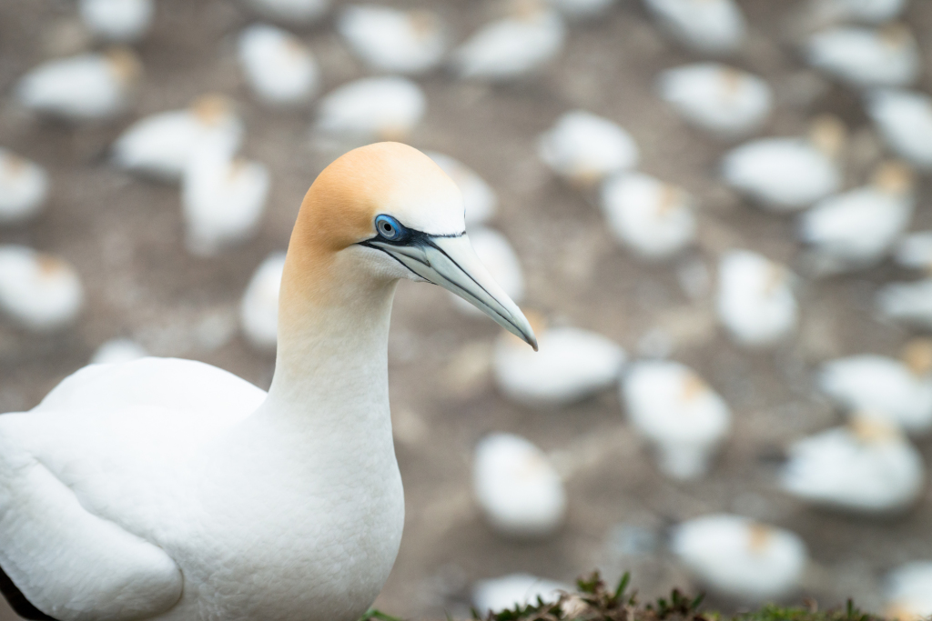 Muriwai Gannet Colony (3 of 3)