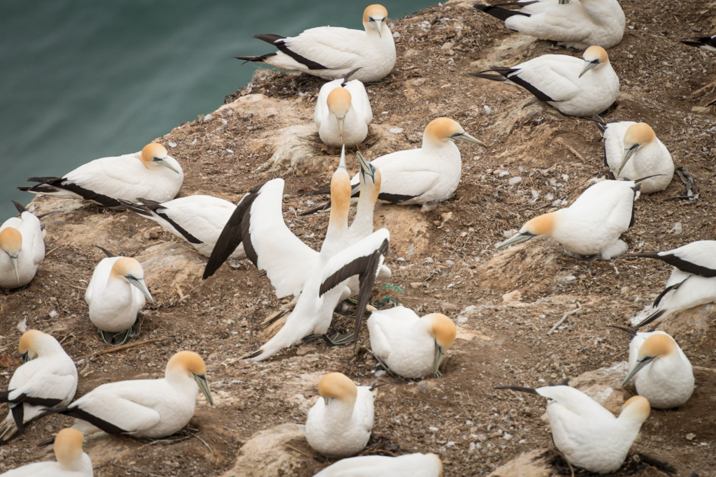 Muriwai Gannet Colony (5 of 13)