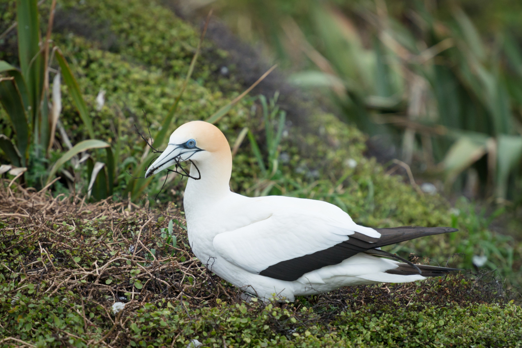 Muriwai Gannet Colony (7 of 13)
